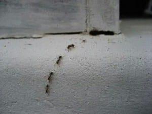 Karıncalar Öldürmeden Nasıl Uzaklaştırılır