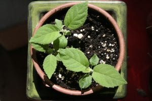 Tohumdan Kivi Bitkisi Nasıl Yetiştirilir?