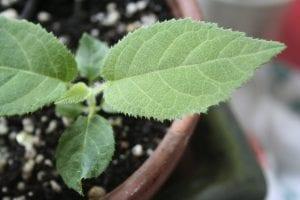 Tohumdan Kivi Bitkisi Nasıl Yetiştirilir? 4