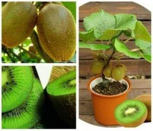 Tohumdan Kivi Bitkisi Nasıl Yetiştirilir? 6