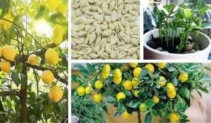 Evde Limon Çimlendirme ve Saksıda Yetiştirme