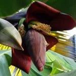 Muz Çiçeğinin Şaşırtıcı Sağlık Faydaları