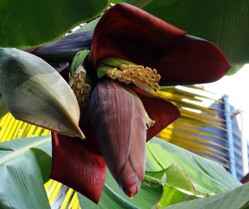 Muz çiçeğinin şaşırtıcı Sağlık Faydaları Mimuucom