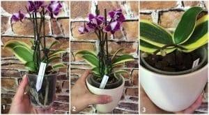 Orkide Çiçeğinin Bakımı 1