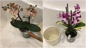 Orkide Çiçeğinin Bakımı 2