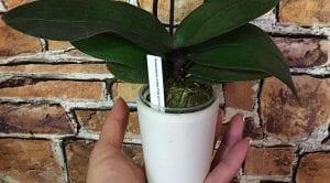 Orkide Çiçeğinin Bakımı 5