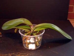 Orkide Saksı ve Toprak Değişimi 9