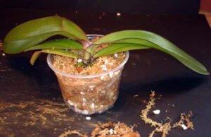 Orkide Saksı ve Toprak Değişimi 11