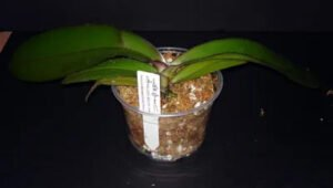 Orkide Saksı ve Toprak Değişimi 12
