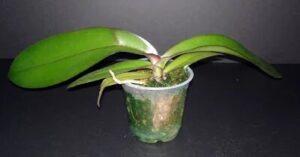 Orkide Saksı ve Toprak Değişimi