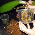 Orkide Saksı ve Toprak Değişimi 8