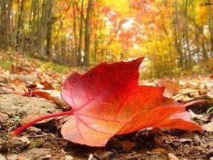 Çınar Yaprağının Faydaları 1