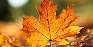 Çınar Yaprağının Faydaları 4