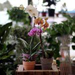 Orkide Nasıl Bakılır? 1