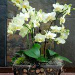 Orkide Nasıl Bakılır? 2