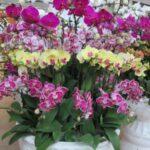 Orkide Nasıl Bakılır? 5