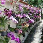 Orkide Nasıl Bakılır? 30