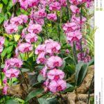 Orkide Nasıl Bakılır? 31