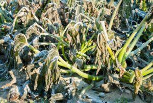 Bitkileri Dondan Koruma Yolları 2