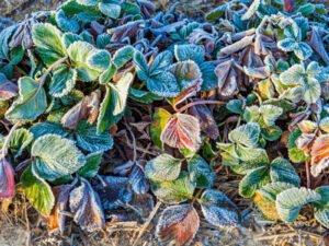 Bitkileri Dondan Koruma Yolları 5