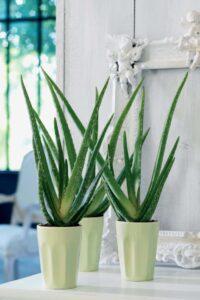 Aloe Vera Bakımı 2