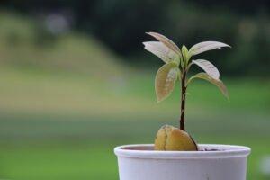 Avokado Nasıl Yetiştirilir Evde 11