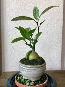 Avokado Nasıl Yetiştirilir Evde 2