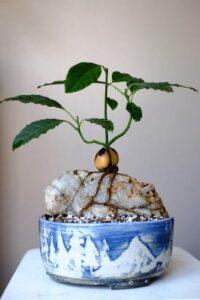 Avokado Nasıl Yetiştirilir Evde 7