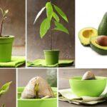 Avokado Nasıl Yetiştirilir Evde 9