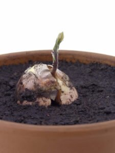 Avokado Nasıl Yetiştirilir Evde 1