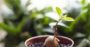 Avokado Nasıl Yetiştirilir Evde 15