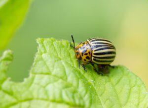Patates Böceğine Doğal Çözüm 1