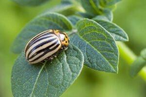 Patates Böceğine Doğal Çözüm
