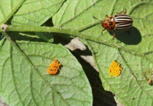 Patates Böceğine Doğal Çözüm 4