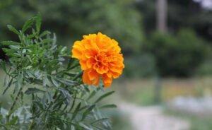 Evde Kolayca Yetiştirebileceğimiz 7 Şifalı Bitki 2