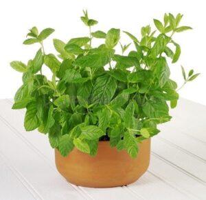 Evde Kolayca Yetiştirebileceğimiz 7 Şifalı Bitki