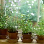 Evde Kolayca Yetiştirebileceğimiz 7 Şifalı Bitki 4