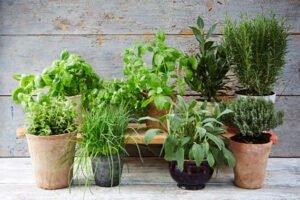 Evde Kolayca Yetiştirebileceğimiz 7 Şifalı Bitki 6