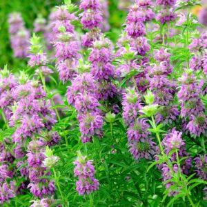 Evde Kolayca Yetiştirebileceğimiz 7 Şifalı Bitki 9