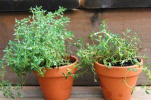 Evde Kolayca Yetiştirebileceğimiz 7 Şifalı Bitki 10