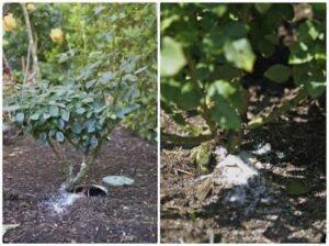 Bahçede Neden Epsom Tuzu Kullanmalıyız?