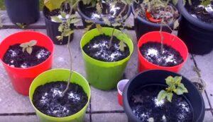 Bahçede Neden Epsom Tuzu Kullanmalıyız? 3