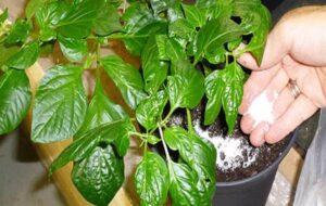 Bahçede Neden Epsom Tuzu Kullanmalıyız? 7