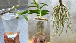 Suyla Orkide Kökleri Nasıl Canlandırılır?